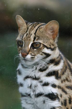 prionailurus: Leopard cat (Prionailurus bengalensis).