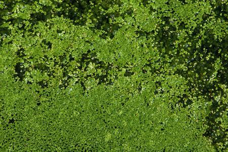 duckweed: Common duckweed (Lemna minor). Full frame texture.