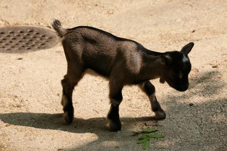 hircus: Domestic goat (Capra aegagrus hircus) kid.