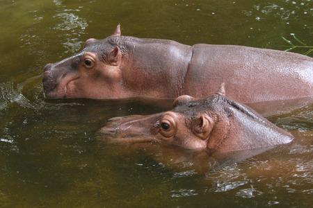 amphibius: Two hippopotamuses (Hippopotamus amphibius).