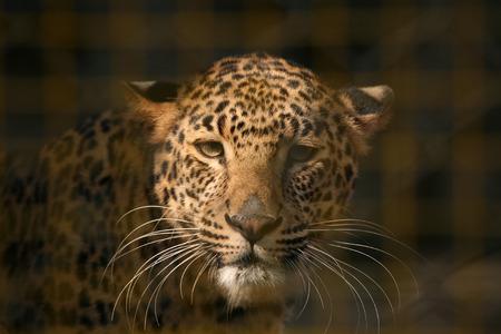 panthera pardus: Leopard (Panthera pardus) in its enclosure at zoo.