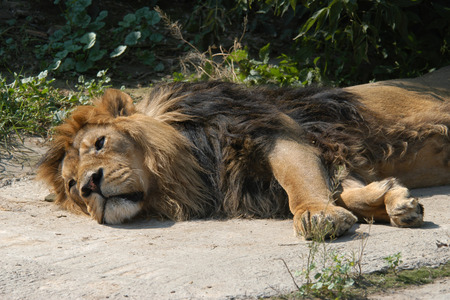 gir: Asiatic lion (Panthera leo persica), also known as the Indian lion.