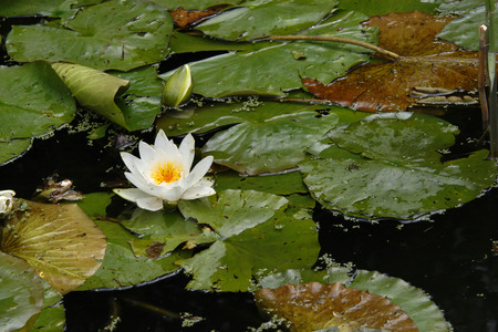 nymphaea: White water lily (Nymphaea nouchali), also known as the star lotus. Stock Photo