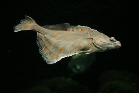 plaice: European plaice fish (Pleuronectes platessa).