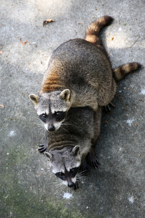 animal sex: Two common raccoons (Procyon lotor) having sex.