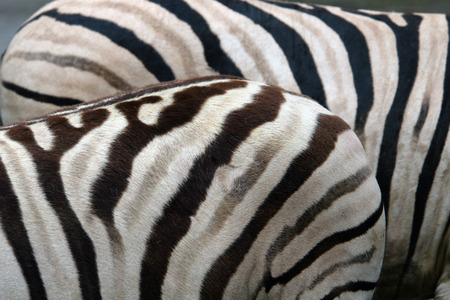 burchell: Damara zebras (Equus burchelli antiquorum).