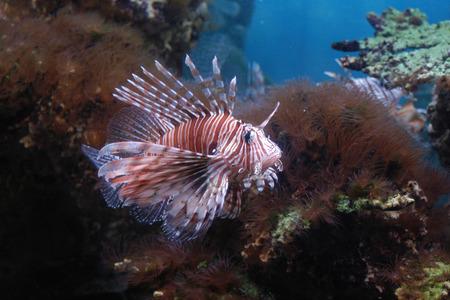 volitans: Red Lionfish (Pterois volitans).