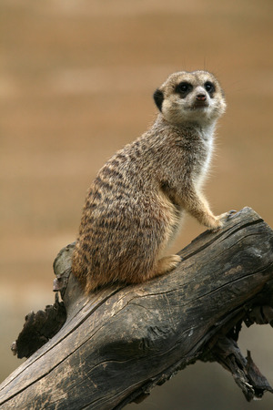 herpestidae: Meerkat (Suricata suricatta), also known as the suricate. Stock Photo