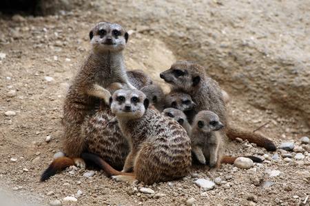 suricata suricatta: Meerkats (Suricata suricatta), also known as the suricates.