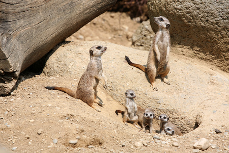 herpestidae: Meerkats (Suricata suricatta), also known as the suricates.