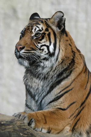 panthera tigris: Sumatran tiger (Panthera tigris sumatrae). Stock Photo