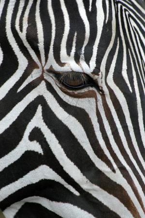 zebra head: Grevy
