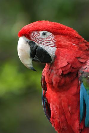 green winged macaw: Green-winged macaw (Ara chloropterus).