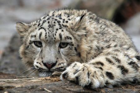 雪豹 (パンテーラ アンシャル)。 写真素材