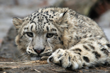 himalayan cat: Snow leopard (Panthera uncial).