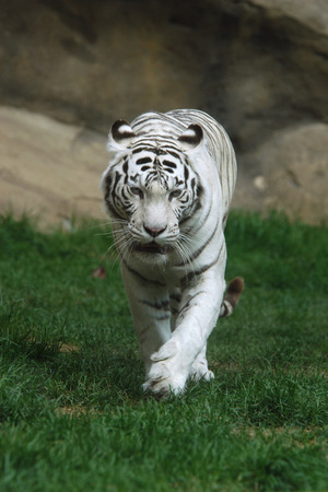 felid: White tiger (Panthera tigris tigris). Stock Photo