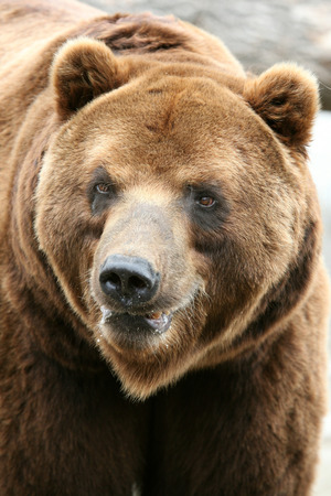 kodiak: Male Kamchatka brown bear (Ursus arctos piscivorus), the second largest brown bear in the world after a Kodiak bear.