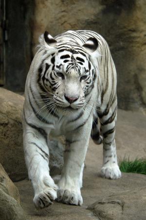 White tiger (Panthera tigris tigris). photo