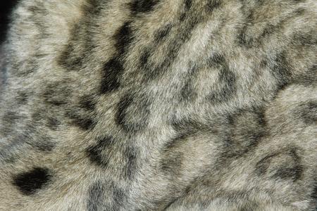 himalayan cat: Snow leopard fur texture (Panthera uncial). Stock Photo