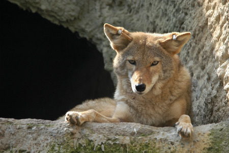 canis: Coyote (Canis latrans). Stock Photo