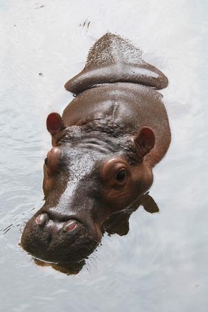 amphibius: Hippopotamus (Hippopotamus amphibius).