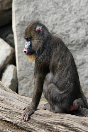 mandrill: Mandrill (Mandrillus sphinx). Stock Photo