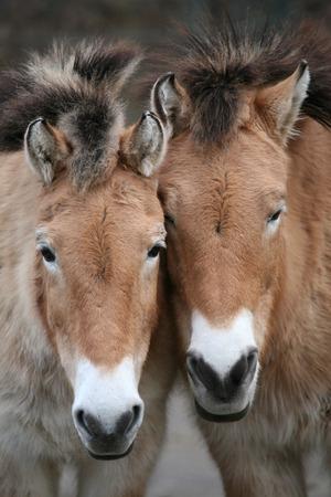 mongolia horse: Two Przewalskis horses (Equus ferus przewalskii). Stock Photo