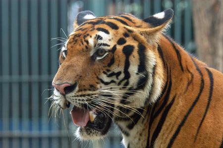 panthera tigris: Bengal tiger (Panthera tigris tigris).