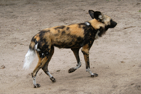 lycaon pictus: African wild dog (Lycaon pictus).