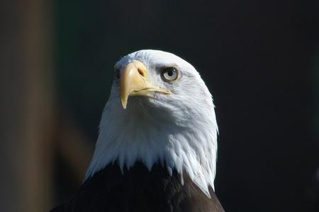 haliaeetus leucocephalus: Bald eagle (Haliaeetus leucocephalus), national bird of the United States of America. Stock Photo