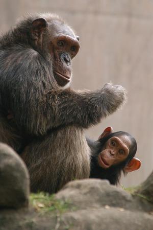 troglodytes: Chimpanzee (Pan troglodytes) with a baby.