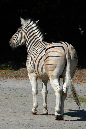 burchell: Damara zebra (Equus burchelli antiquorum).