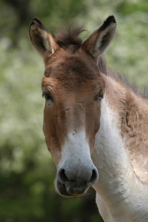 Kiang (Equus kiang), also known as the Tibetan wild ass. Banco de Imagens