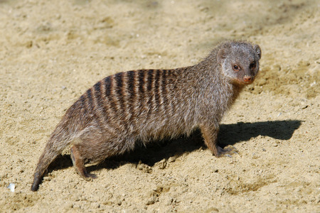 mongoose: Banded mongoose (Mungos mungo).