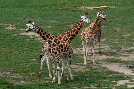 Four giraffes (Giraffa camelopardalis). photo