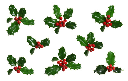 Collection of sprigs of European holly (Ilex aquifolium) isolated on white