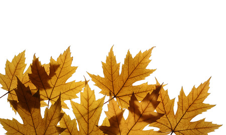 silver maple: Yellow leaves of Silver maple (Acer saccharinum) isolated on white