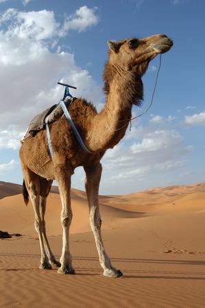 one humped: Arabian camel or Dromedary (Camelus dromedarius) in the Sahara Desert, Morocco. Stock Photo