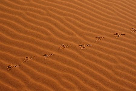 Bird steps in the sand dunes of Erg Chebbi in the Sahara Desert, Morocco. photo