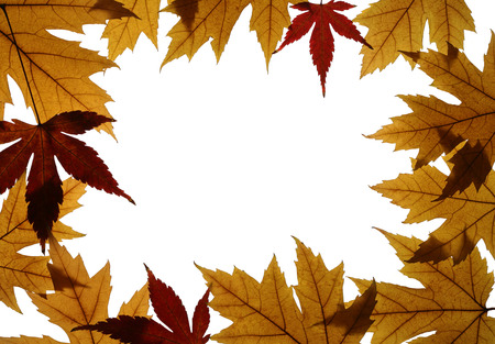 palmatum: Frame from leaves of Silver maple (Acer saccharinum) and Japanese maple (Acer palmatum) isolated on white