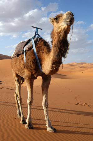 dromedaries: Arabian camel or Dromedary (Camelus dromedarius) also called a one-humped camel in the Sahara Desert, Morocco Stock Photo