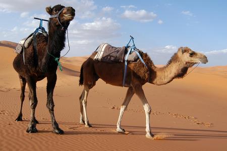 dromedaries: Arabian camels or Dromedaries (Camelus dromedarius) also called one-humped camels in the Sahara Desert, Morocco