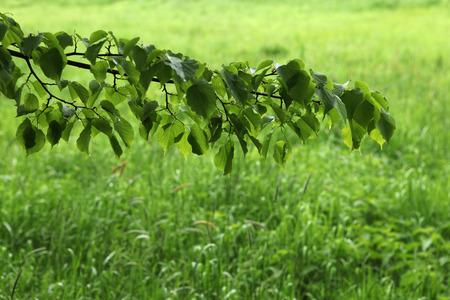linden tree: Linden tree over green grass.