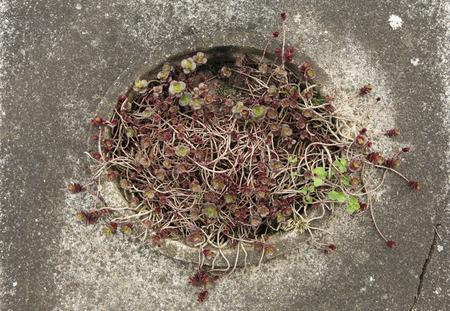 terezin: Le piante succulente al cimitero abbandonato a Terezin, Repubblica Ceca.