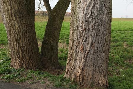 terezin: Vecchi tronchi di pioppo in Terezin, Repubblica Ceca.