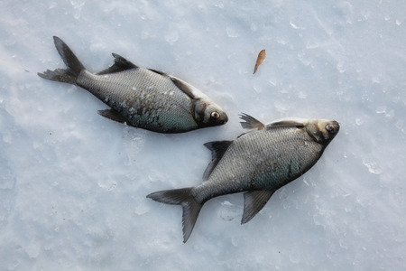 cyprinidae: Fish catch of freshwater bream (Abramis brama) on ice during ice fishing in Yekaterinburg, Russia.
