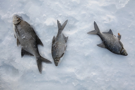 abramis: Fish catch of freshwater bream (Abramis brama) on ice during ice fishing in Yekaterinburg, Russia.