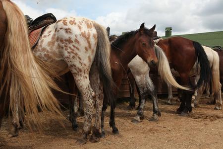 dapple horse: Horse farm in Mozhaysk near Moscow, Russia.
