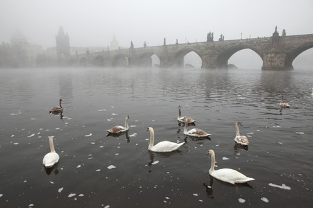 charles bridge: Morning fog over swimming swans and the Charles Bridge in Prague, Czech Republic.