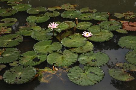 botanical gardens: Lotus in the Bogor Botanical Gardens, West Java, Indonesia.